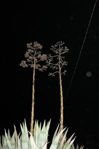 agave orbs